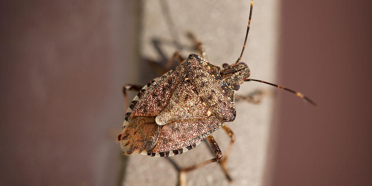 WSU: Stink bugs infesting Puget Sound region