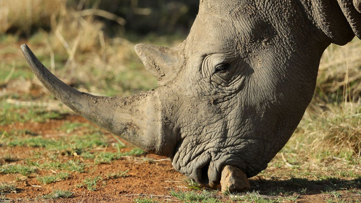 Video shows white rhino charging tour group in South Africa
