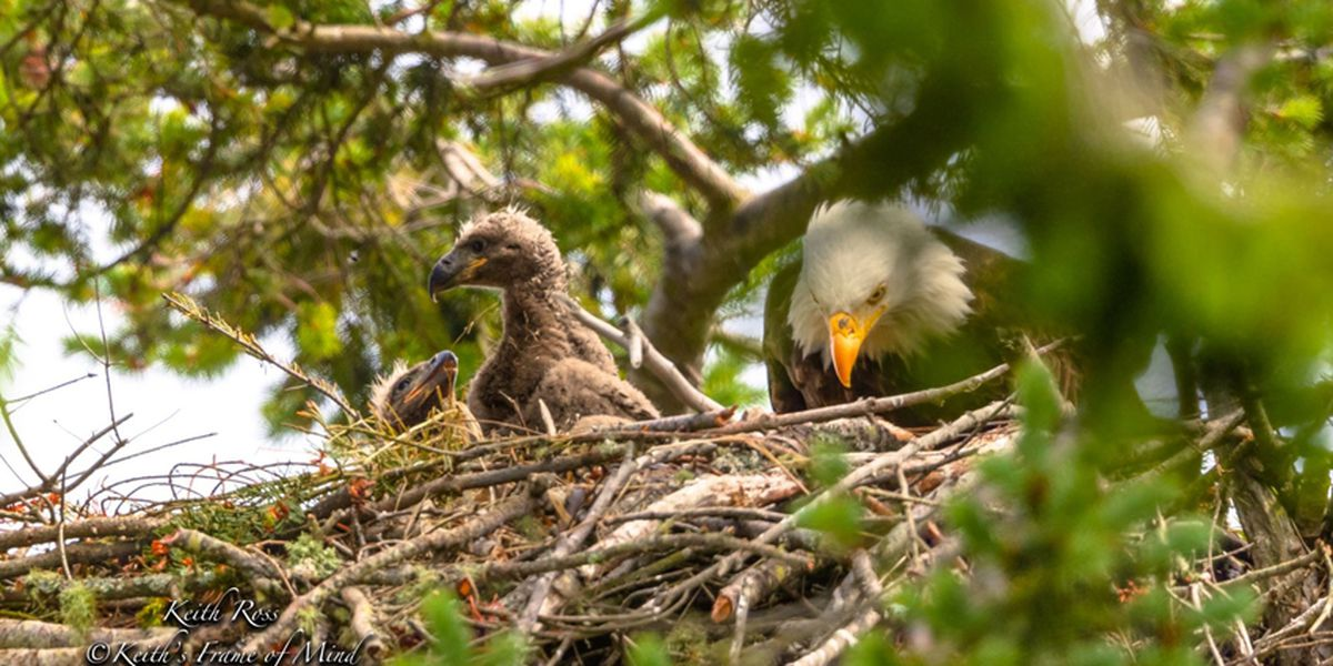 Eaglets rescued near Sequim returned to nest by zip line