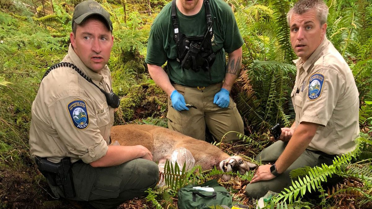 When was last fatal cougar attack in the Northwest? See details of past attacks