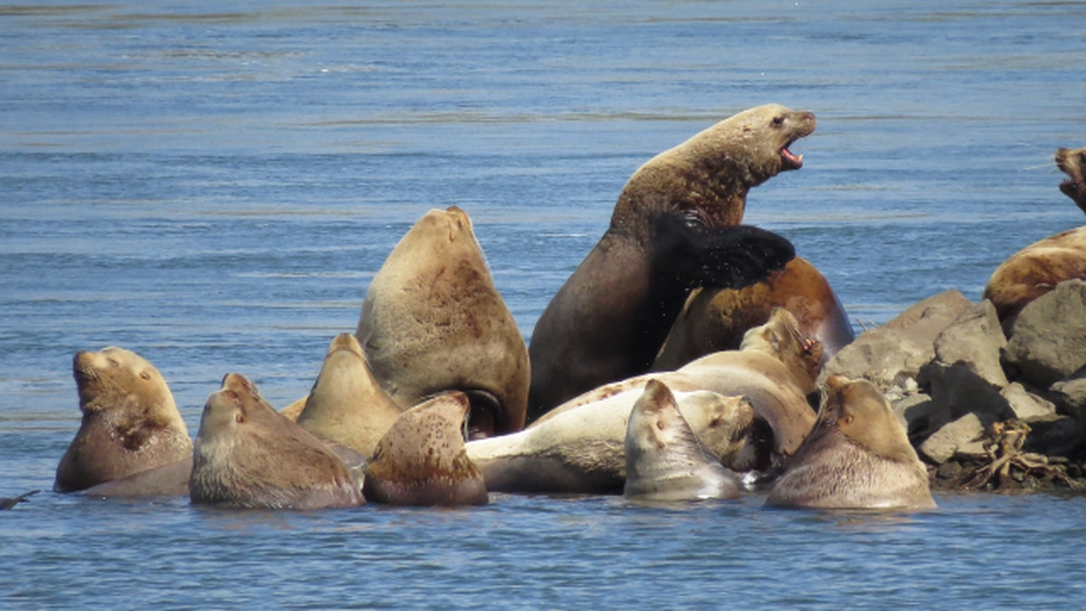 New plan targets salmon-eating sea lions in Columbia River