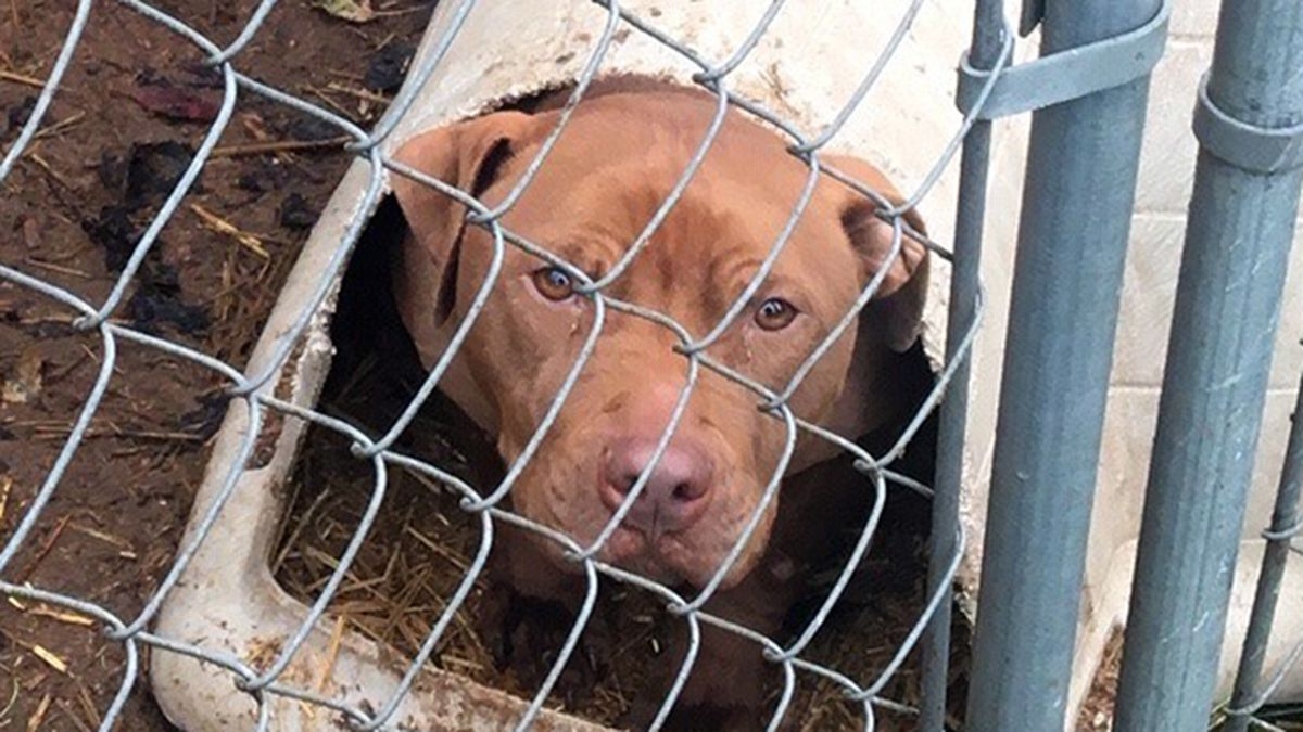 Dozens of dogs removed from suspected dog fighting ring in Pierce County, deputies say