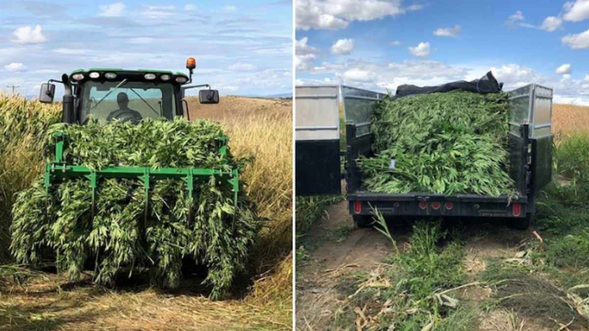 Deputies seize 25,000 marijuana plants in Eastern Washington