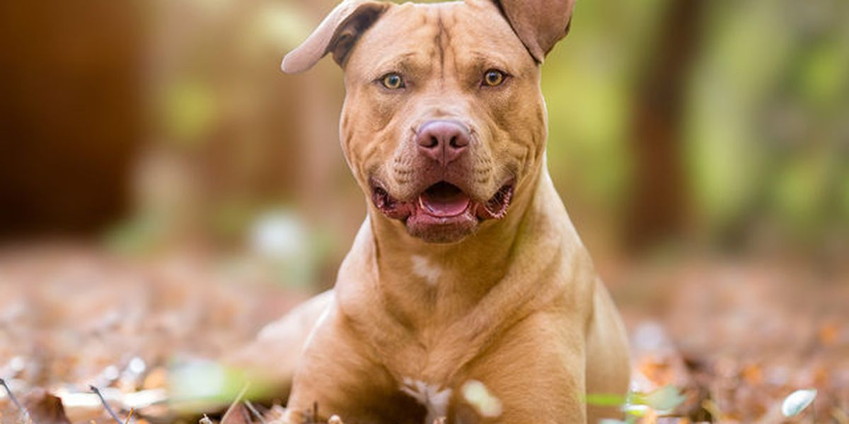 Yakima reports no activity change after pit bull ban lifted