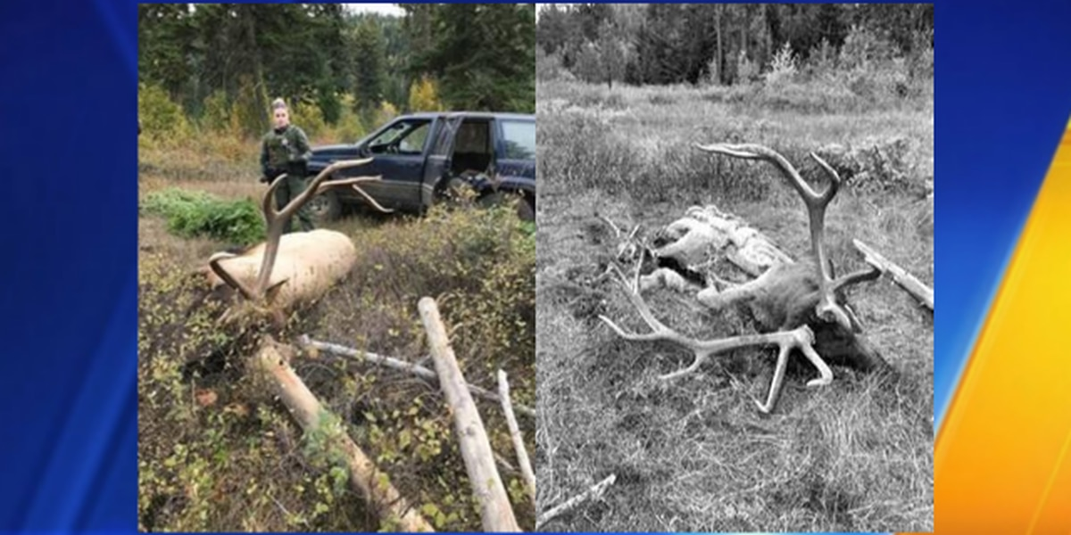 WDFW officials looking for man suspected of poaching elk, attempting to hide body