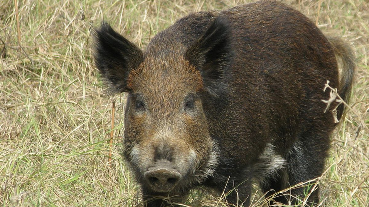 State agencies remind public to report wild pig sightings