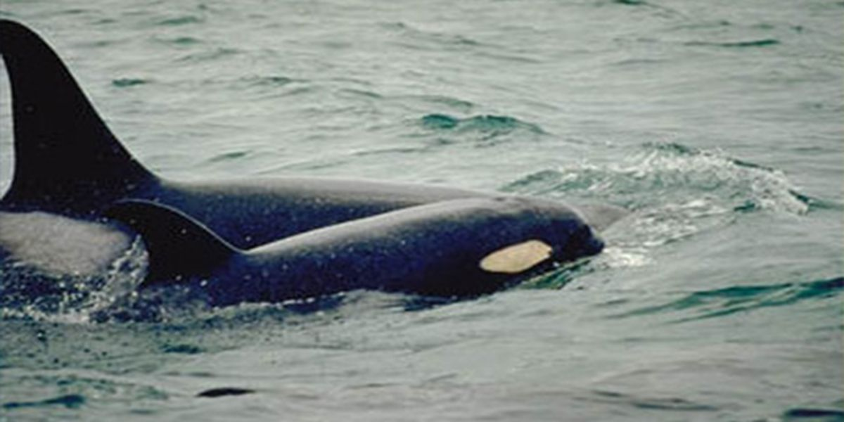 New baby orca seen in Washington state with whale family