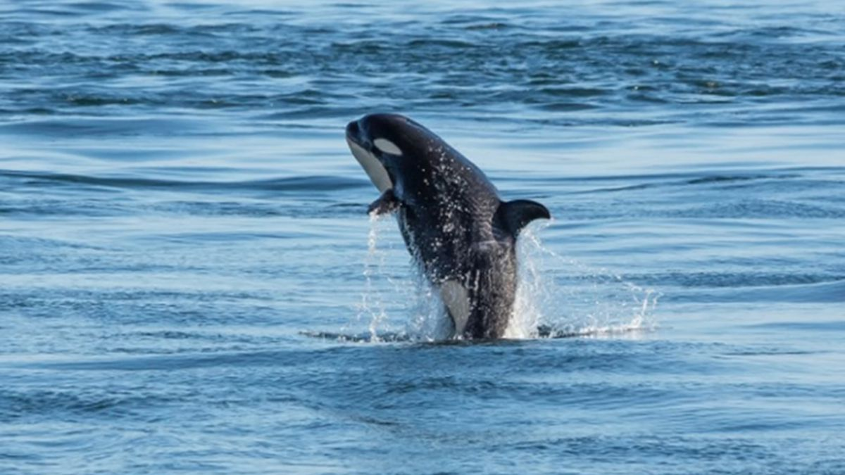 Ailing orca J50, believed to be missing, found after 2 days