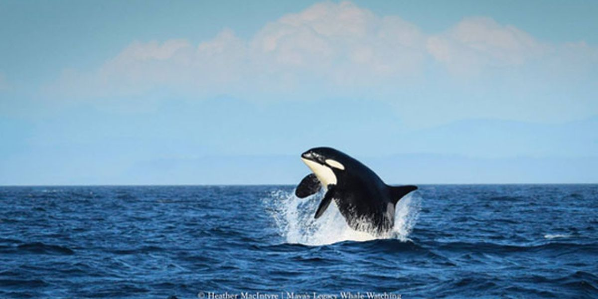 Oldest known living southern resident orca spotted in 'high spirits'