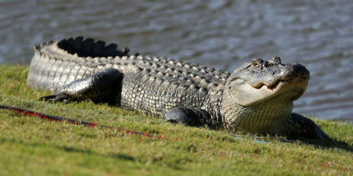Florida golfer continues playing as 7-foot alligator walks across green