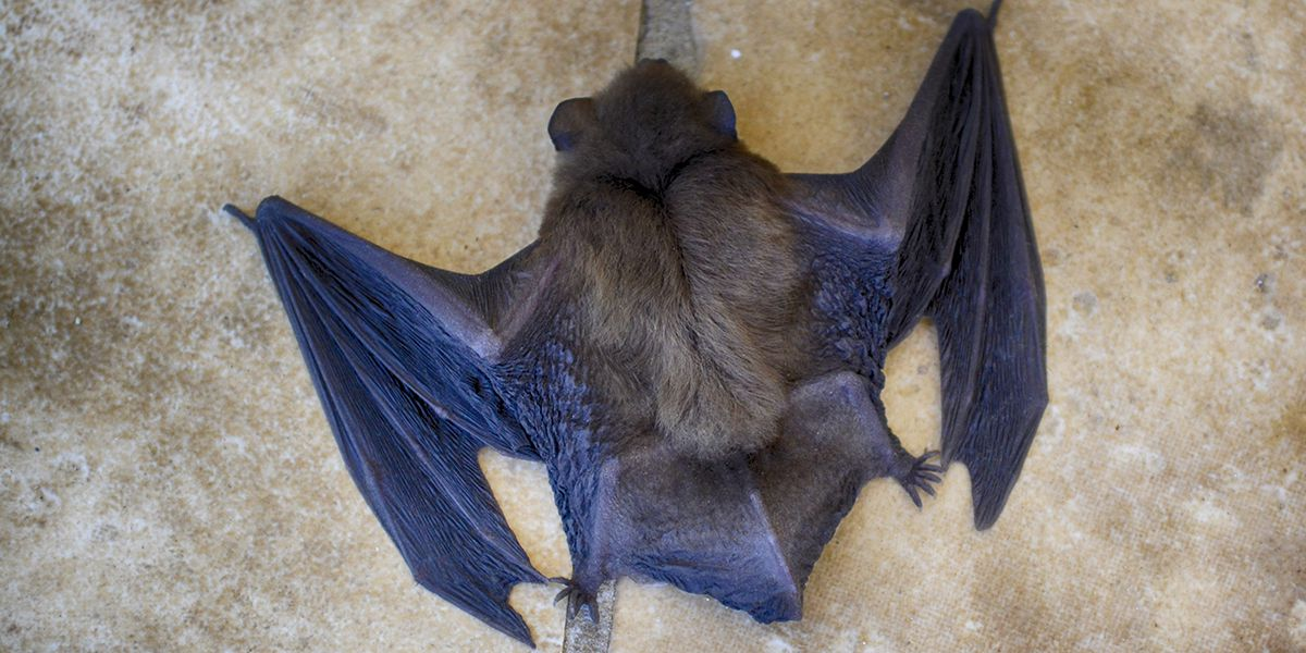 Are Bats To Blame For The Spread Of Coronavirus