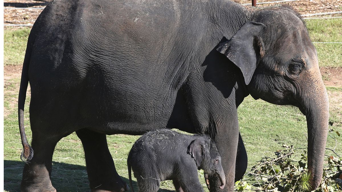 WATCH: Oklahoma City Zoo ultrasound clip offers sneak peek at baby elephant due in 2022