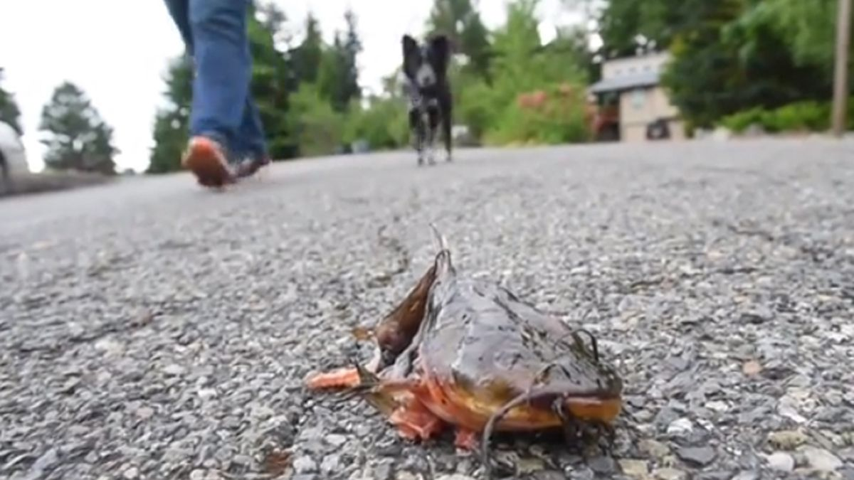 Fish falls from the sky in Lake Tapps