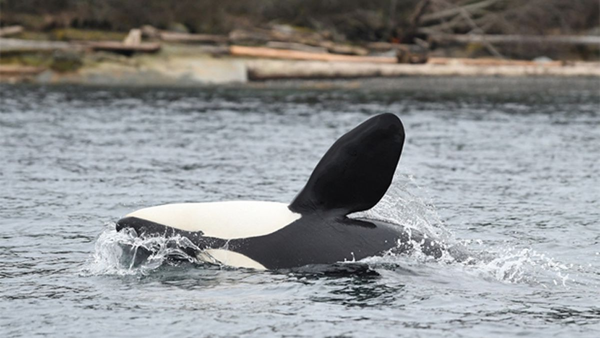 Newest Puget Sound orca calf continues to survive