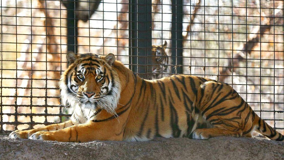 Tiger attacks Kansas zookeeper