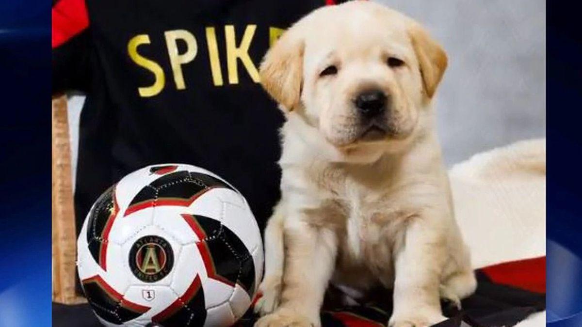 Meet Spike: Atlanta United's new service dog in training
