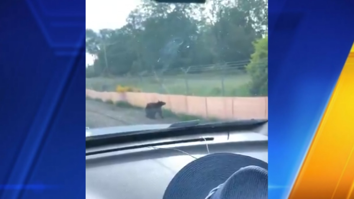 Bear spotted running on I-5 in Pierce County