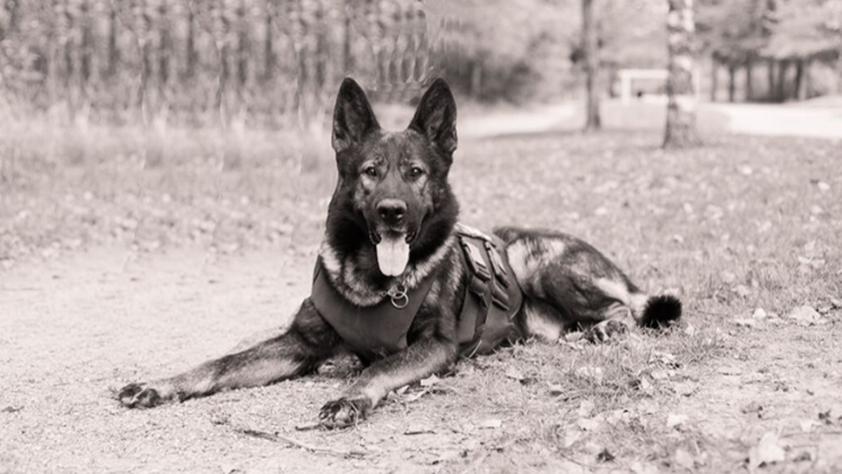 Kato, Kent Police K-9 who survived stabbing, dies