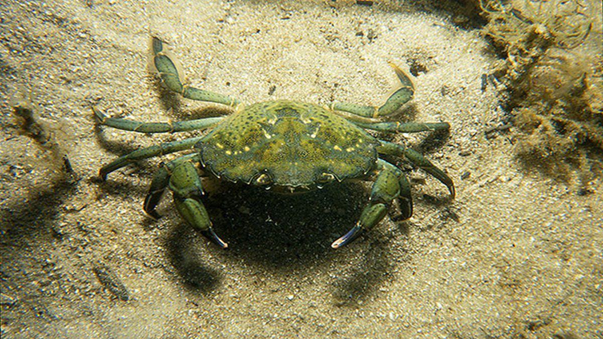 Invasive green crabs found in Puget Sound