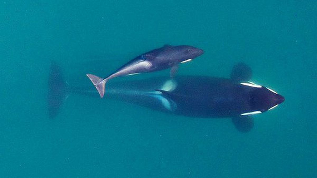 Another orca born in boom dies, likely from malnutrition