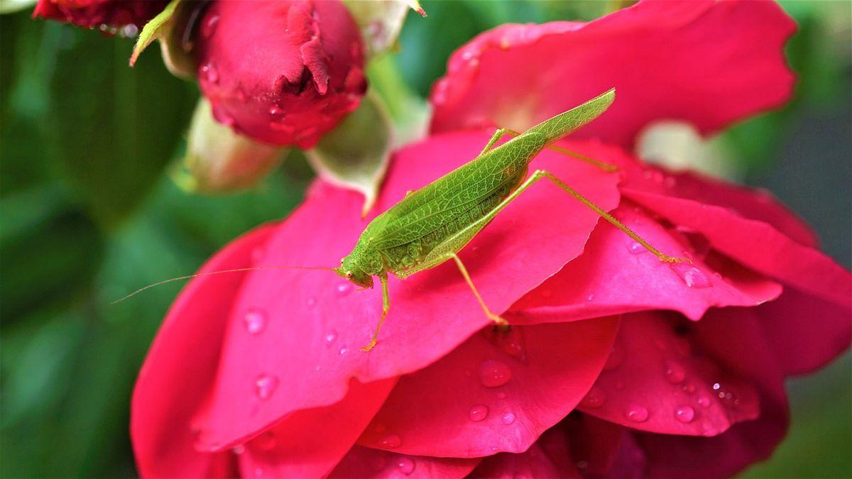 Texas toddler finds rare pink grasshopper in mom's garden
