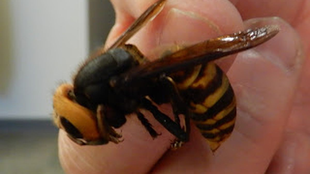 Invasive Asian giant hornet found in Washington state