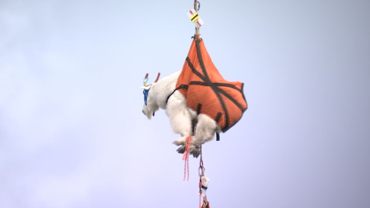 Next round of goats to be airlifted into Cascades Monday