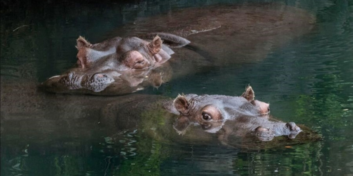 Say goodbye to Lily and Lupe: Woodland Park Zoo seeks new home for hippos