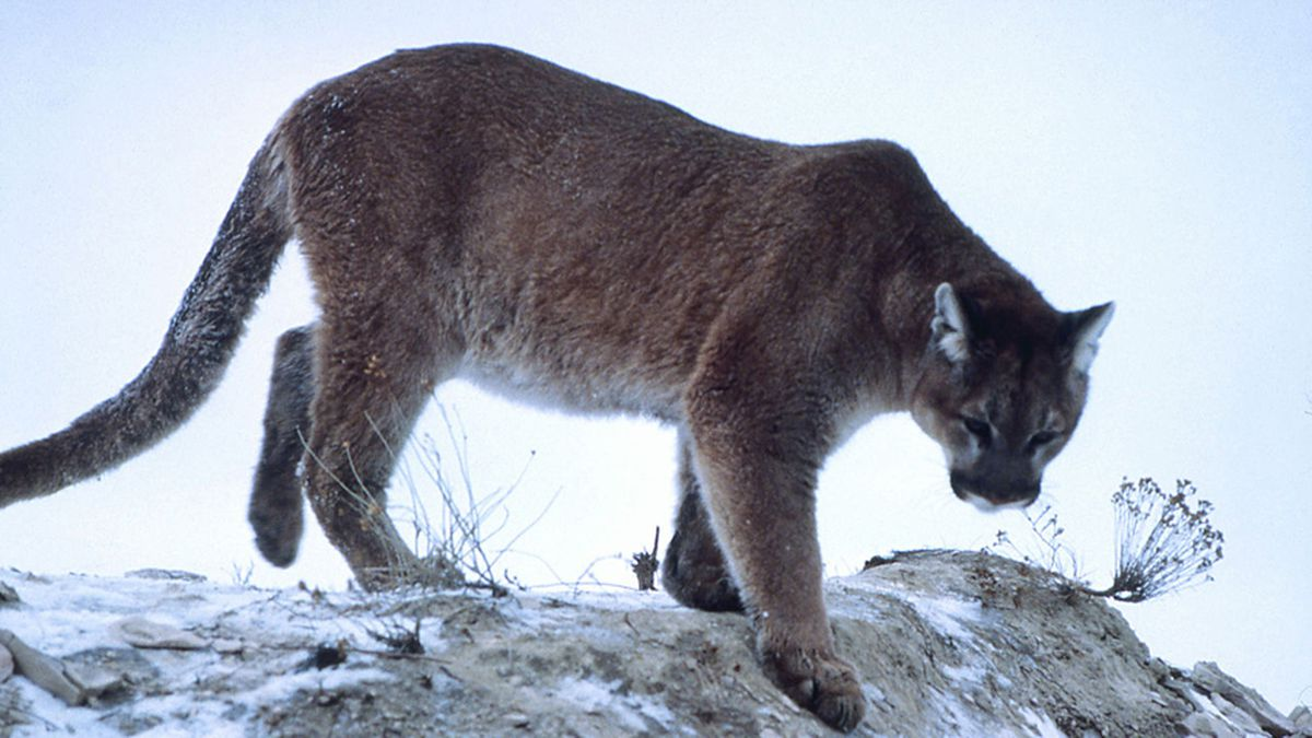 Cougar sightings reported on Lewis & Clark campus